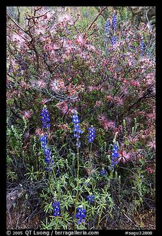 Picture/Photo: Royal lupine and fairy duster. Saguaro National Park