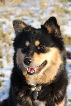 Finnish Lapphund Karuna Silja.....dochter van Silja Elsaari..... is onze tweede hond......foto gemaakt door Elly Brugman