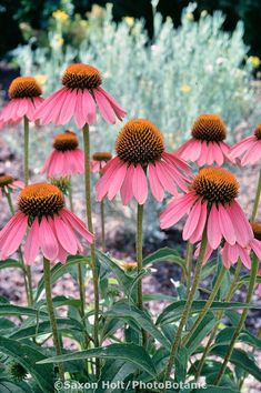 Echinacea purpurea-purple coneflower, herb, medicinal plant perennial flower in . - Echinacea purpurea-purple coneflower, herb, medicinal plant perennial flower in … Check more at f -