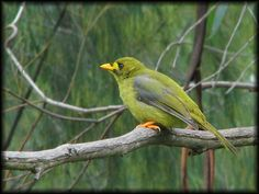"""The Bell Miner - Bellbird - Bell Miners (Manorina melanophrys) live in colonies of a few birds to many hundreds in the wet eucalypt forests of south-eastern Australia. They are commonly known as bellbirds, for their call is a single metallic """"tink"""" that sound like bells ringing in the forest."""