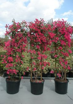 "15 GALLONS: Bougainvilleas-Bush-Trellis72""-Standard & Braided"
