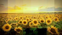 """#DuvidaCruel: Por que o girassol """"acompanha"""" o Sol? ↪ Por @jpcppinheiro. Você já deve ter ouvido que o girassol segue o Sol durante sua trajetória. Agora... por quê? Descubra a resposta para essa #DúvidaCruel. Veja só! http://www.curiosocia.com/2015/07/por-que-o-girassol-acompanha-o-sol.html"""