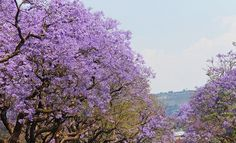 Where To Watch The Jacarandas Bloom In Johannesburg Knysna, Port Elizabeth, South Africa Holidays, South African News, Stuff To Do, Things To Do, New Africa, Four Seasons Hotel, Mauritius