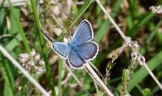 Blue butterflies and black ants thrive on a New Forest heath | Environment | The Guardian