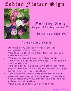 Zodiac Flower Sign - Virgo - Morning Glory - August 22 to September 22 Astrology And Horoscopes, Virgo Horoscope, Astrology Zodiac, Zodiac Mind, Zodiac Art, Gemini, Infj, Morning Glory Tattoo, Birth Flower Tattoos