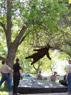 """thedailyfeed:  This tranquilized bear falling from a tree in Colorado is just awesome.   """