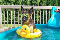 german shepherd in the pool
