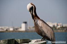 Pelikan in St. Petersburg