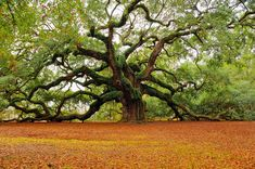 Angel Oak, Johns Island : 300 year old live Oak. 1700 sf of shade! It's survived the American Revolution, the Civil War, 1886 Earthquake & Hurricane Hugo. Good Southern Fortitude.... I want to picnic here!