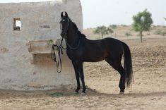 Marwari horse (indigenous horses of india) Rare Horses, Wild Horses, All The Pretty Horses, Beautiful Horses, Rare Horse Colors, Marwari Horses, Indian Horses, Horse Wallpaper, Horse Ranch