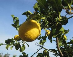 10 Mandarin Orange Tree Seeds Citrus reticulata Blanco   Etsy Abdominal Distension, Body Cells, Antioxidant Vitamins, Tree Seeds, Plant Needs, Seed Starting, Tropical Plants, Fruit Trees, Container Gardening