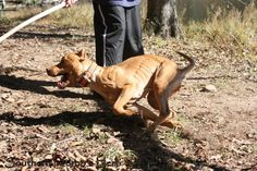 Southern Inferno, Old Family Red Nose, American Pit Bull Terrier, Game Dog, Wild Boar/Hog Hunting