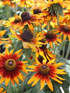 Echibeckia 'Summerina'A breakthrough in plant breeding, 'Summerina' echibeckia is actually a cross between rudbeckia and echinacea, showcasing the best qualities of both parents. It has bold, upward facing, daisylike flowers that are produced on hardy plants that grow bigger and better each year. 'Summerina' is available in three different color varieties 'Summerina Orange', 'Summerina Yellow', and 'Summerina Brown'.