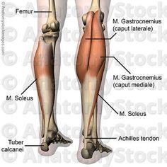 musculus soleus - Google keresés