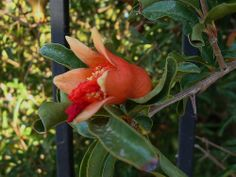 awesome Pomegranite bloom at the Herb Garden at University of Arizona Maricopa Extension office, Phoenix, AZ. / http://www.everydaygardening.net/pomegranite-bloom-at-the-herb-garden-at-university-of-arizona-maricopa-extension-office-phoenix-az/