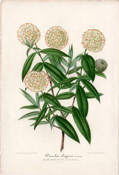 1861 Antique Print Botanical Print Flower Illustration