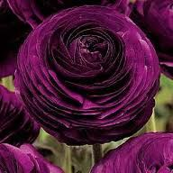 Persian Buttercups (Ranunculus) symbolizes radiant charm.