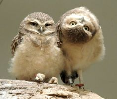 Burrowing Owls...my first thought was to say, bet you can't do that! It's ok, me too!