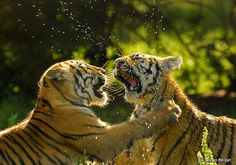Tigers and Tiger Cubs
