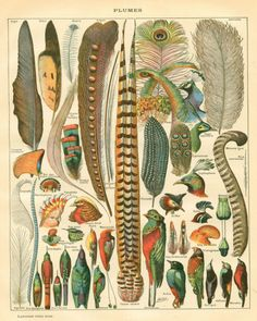 Plumes - Feather Collection Antique Print - Bird Still Life Curiosity Woodland