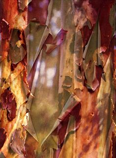 """Eucalyptus peeling bark 1"" pastel pencil, water colour pencils and watercolour by Pat Benkendorff"