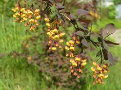 Resultado de imagen de berberis thunbergii tree Fruit, Plants, Shrubs, Planters, Plant, Planting