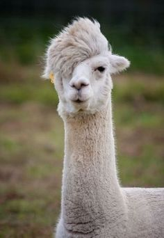 This llama is far too cool. He sang Personal Jesus at the Llama talent show and won but wouldn't accept the ribbon on the grounds that the establishment is running the show.Hahaaaa!!!!!