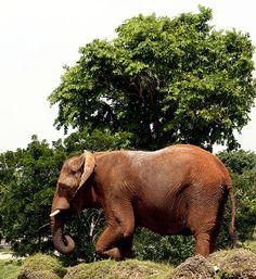 Machito: Big as a Tree,   Machito: Big as a Tree    African Elephant ~ Zoo Miami ~ Miami, FL