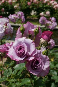 I have a tree rose this color-so pretty and so fragrant
