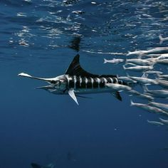 It's a bad day to be a sardine with a pack of hungry striped marlin around. Fishing Vest, Fly Fishing, Fishing Reels, Fishing Tips, Salt Water Fish, Marine Fish, Salmon Fishing, Deep Sea Fishing, Ocean Creatures