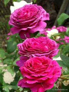 Big Purple' | Hybrid Tea rose. Pat Stephens (New Zealand, 1985).