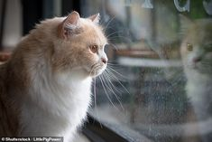 Household cats are more susceptible to coronavirus infection than dogs, a new study has warned Cat Symptoms, Online Pet Store, Mail Online, Cat Health Care, Pet Supplements, Cat Behavior, White Cats, Cats And Kittens, Vancouver