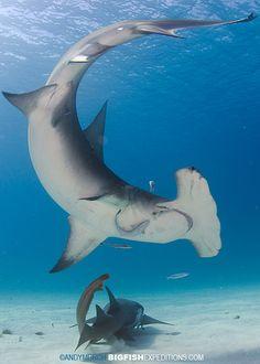 Great Hammerhead Shark, Bimini Island. With BigFishExpeditions.com
