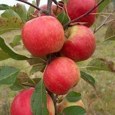 Red Falstaff for sale. Apple Fruit, Fruit And Veg, Red Apple, Fruits And Vegetables, Fresh Fruit, Keto Fruit, Healthy Fruits, Fruit Plants, Fruit Trees