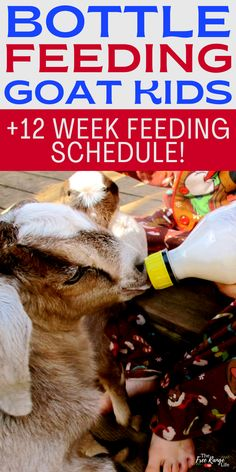 When raising goats you need to be ready for anything. Are you prepared to bottle feed your goat kids? Even if you plan on letting the mother feed the baby, you should learn how to bottle feed goat kids, just in case! This includes a bottle feeding schedule for goats and a milk replacer recipe. Feeding Goats, Raising Goats, Mother Feeding, Goat Care, Bottle Feeding, Goat Milk, Just In Case, Recipes, Kids