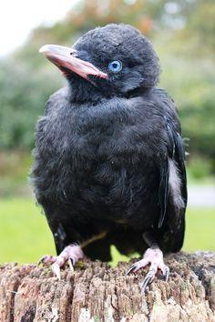 Baby Raven