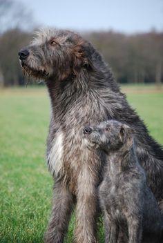 Huge Dogs, Giant Dogs, I Love Dogs, Irish Wolfhound Puppies, Irish Wolfhounds, Scottish Deerhound, Cocker, Greyhounds, Beautiful Dogs