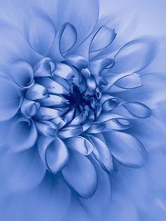 ~~Dahlia, cyanotype by John Edwards~~