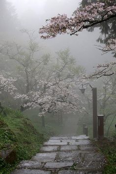 Cherry Blossom Path, Alishan National Scenic Area, Taiwan
