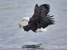 Capture d'un poisson, eagle