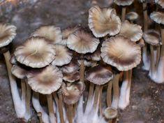 84 Best Psilocybin Species images in 2018 | Mushrooms