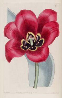 Tulipa agenensis - circa 1828.jpg