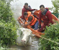 Les pompiers ont pris le taureau par les cornes pour repêcher et ramener sur les berges de l'Allier le gros du troupeau qui s'est jeté dans ...