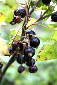 Blackcurrant, middle of August, Koivu, Finland