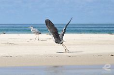 herons on the beach