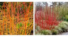 Cornus 'Midwinter Fire' - good for winter colour, via From Britain with Love