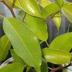 7. Эстер, Ester — золотисто-зеленые листья: