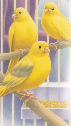 Yellow+Canaries.bmp