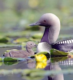 Pacific Loon and chick
