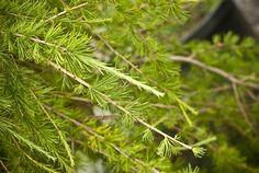 Larix laricina 'Nash Pendula' - Nash's Weeping American Larch - Buy at Conifer Kingdom